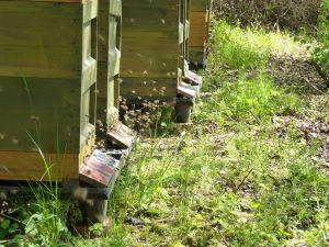 Vom Schwärmen der Bienen